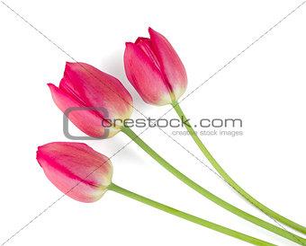 Three lying red tulips