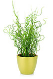 Decorative grass in flowerpot