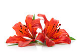 Two red lily