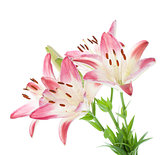 Four pink lily