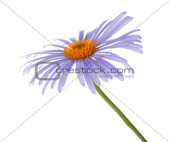Blue chamomile flower