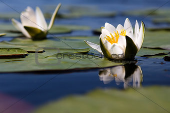 The water yellow-white lily