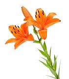Orange lily branch