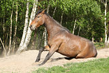 Brown horse standing after rolling in the sand in hot summer