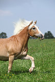 Nice chestnut horse with blond mane running in nature