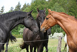 First meeting chestnut horse with the others