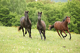 Three young horses running in nature