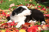 Adorable border collie puppy lying in red leaves