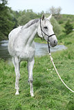 White English Thoroughbred horse in front of river