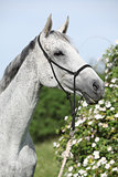 Portrait of white English Thoroughbred horse with flowers