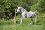 White English Thoroughbred horse in paddock