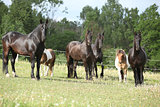 Batch of black horses on pasturage