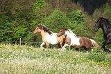 Two ponnies running before black kladruber