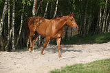 Nice chestnut horse in the sand
