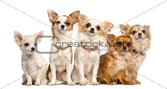 Group of Chihuahua sitting, isolated on white
