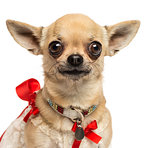 Close-up of a Chihuahua with fancy collar, looking at the camera