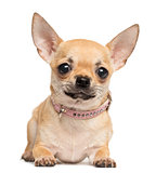 Chihuahua lying, looking at the camera, 10 months old, isolated