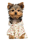 Dressed up Yorkshire Terrier puppy, looking at the camera, 10 we