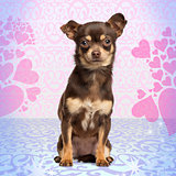 Chihuahua looking at the camera, sitting on heart background, 13