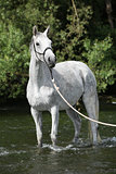 White English Thoroughbred horse in river
