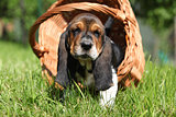 Adorable puppy of basset hound in basket looking at you