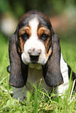 Adorable puppy of basset hound looking at you