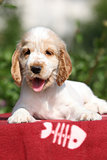 Adorable English Cocker Spaniel puppy