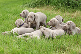 Group of Weimaraner Vorsterhund puppies together