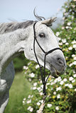 Crazy portrait of white English Thoroughbred horse