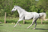 White English Thoroughbred horse running in paddock