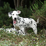 Gorgeous dalmatian puppy in the garden