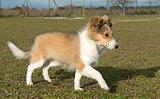running puppy shetland