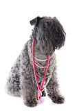 kerry blue terrier with collars