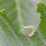 Small caterpillar eating a green leaf