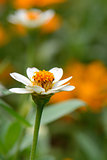 Narrowleaf Zinnia flower (Zinnia angustifolia Kunth)
