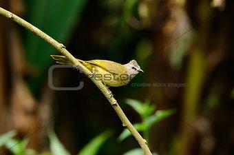 flavescent bulbul (Pycnonotus flavescens)