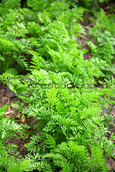 Bed of young carrots growing