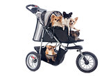 chihuahuas in pushchair
