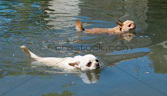 swimming chihuahuas
