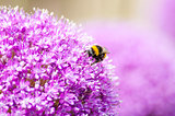 Honey Bee on Allium