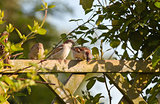 House sparrows on fence with climbers