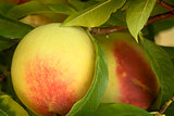 Peach on Bough