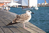 Seagulls at Barcelona Port