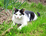 Black white cat hunting and looking for catch