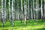 Evening sunlight in beautiful summer birch grove