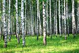 Evening sunlight in beautiful summer birch grove