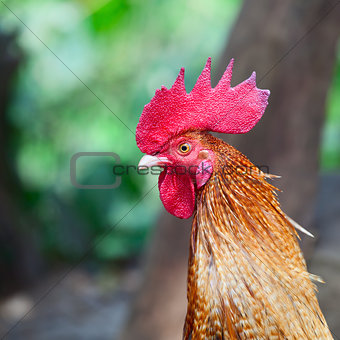 Portrait of cock