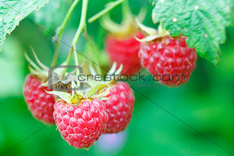 Branch with many raspberries