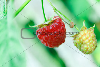 Branch with two raspberries