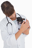 Concerning vet holding a cute chihuahua